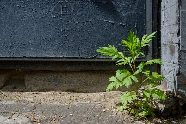 暗い塗装のコンクリート壁の環境をテーマにした孤独な小さな植物
