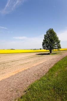 Одинокое дерево, растущее на сельскохозяйственном поле. беларусь