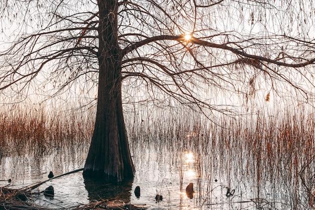 ガルダ湖のほとりにある孤独な木、夕日が裸の枝を突き破ります。冬の季節、イタリア