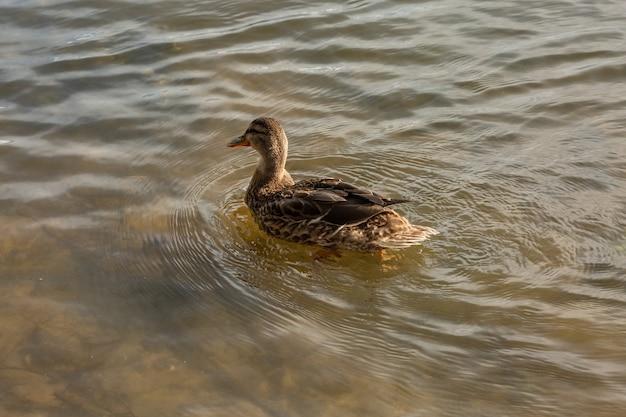自然環境の池に浮かぶ孤独な野生のアヒル