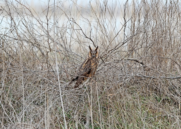Ушастая сова в зимнем оперении сидит на густом кусте. может использоваться для ориентирования и идентификации птиц.