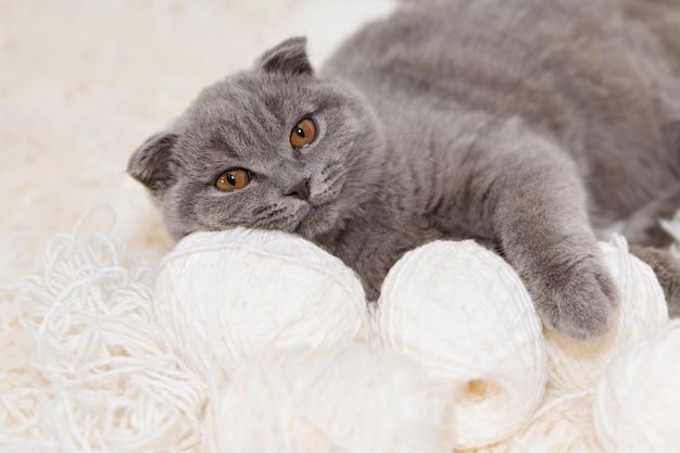 귀가 늘어진 스코틀랜드 고양이가 털실을 가지고 노는 모습. 흰색 바탕에 동물입니다. 애완 동물을위한 재미