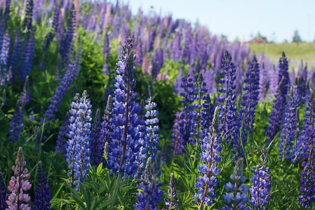 森のそばの畑に青いルピナスの花がたくさん咲きました。