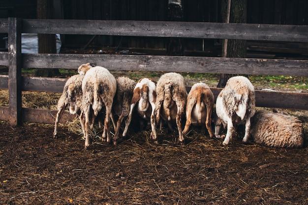 かわいい羊の餌やりがたくさん