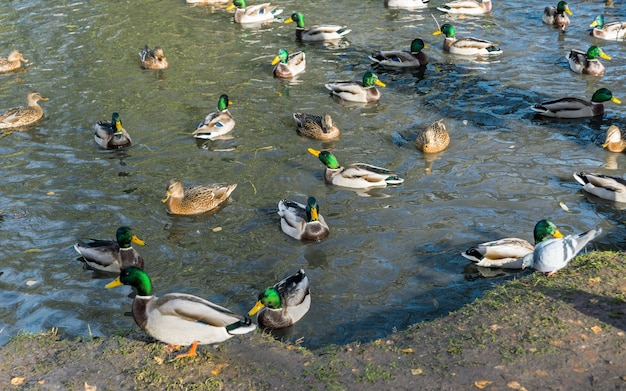 연못에는 많은 드레이크와 오리가 함께 헤엄을 치고 있습니다.