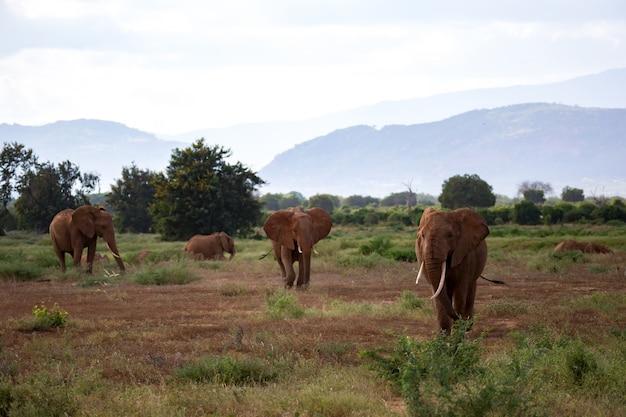多くの象がケニアの草原を歩いています