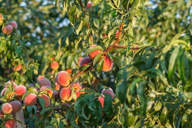 На дереве в саду висит много спелых персиков. здоровая и натуральная еда.