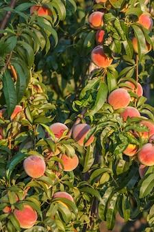 Много спелых персиков, висящих на дереве с зелеными листьями в саду. здоровая и натуральная еда.