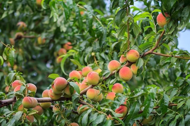 На дереве в саду висит много спелых персиков. здоровая и натуральная еда. малая глубина резкости.