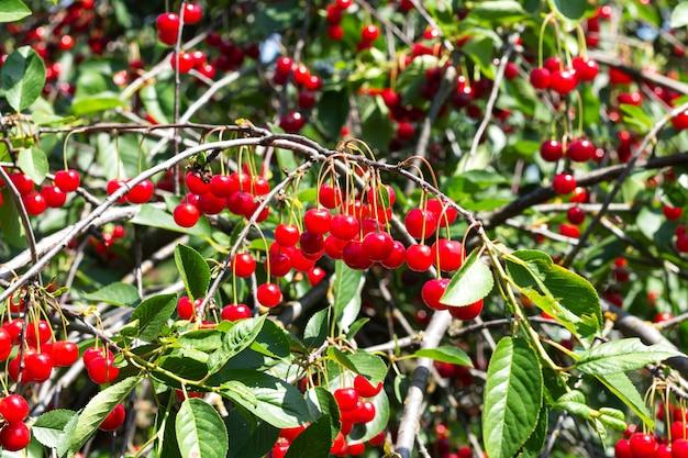 有機果樹園の木の枝に熟した赤いサワーチェリーがたくさん
