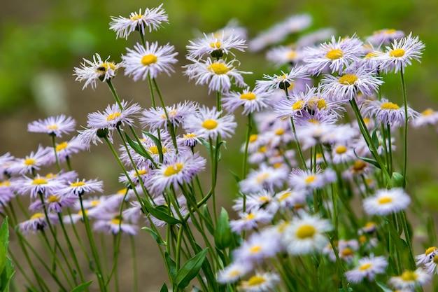 ヒナギクのようなアスターの花の家族の紫色の野花と夏の白がたくさん