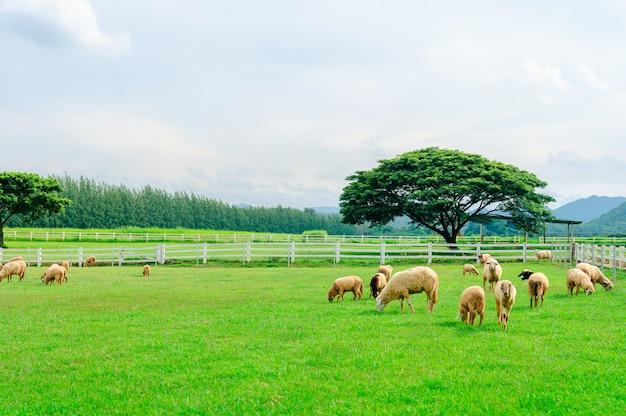 초원에 많은 양, 녹색 농장에서 방목하는 양의 무리