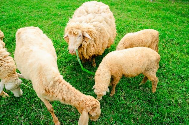 Много овец на лугу, стадо овец, пасущихся на зеленой ферме