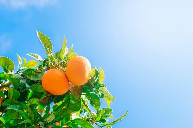 스페인 남부 어딘가에있는 마을의 거리에있는 나무에 많은 오렌지 만다린