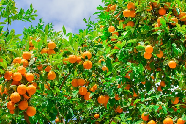 Много оранжевых мандаринов на дереве на улице городка где-то в испании.