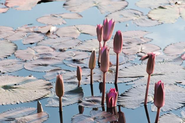 Бутон лотоса, появляющийся из воды среди листьев лотоса, плавающих на воде.
