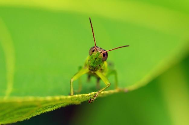 젊은 티크 잎에 사랑스러운 녹색 메뚜기입니다. 매크로 사진.