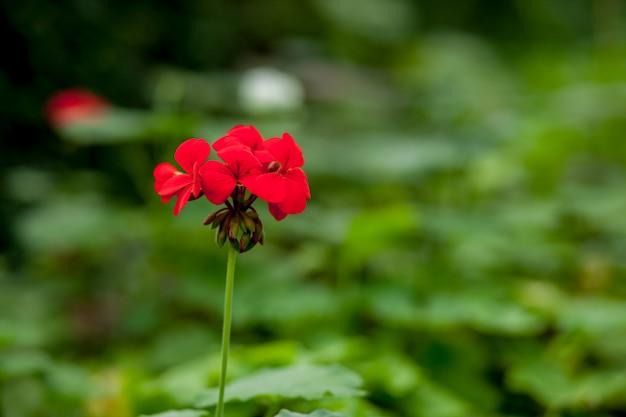 Прекрасный красный цветок герани в его естественной обстановке