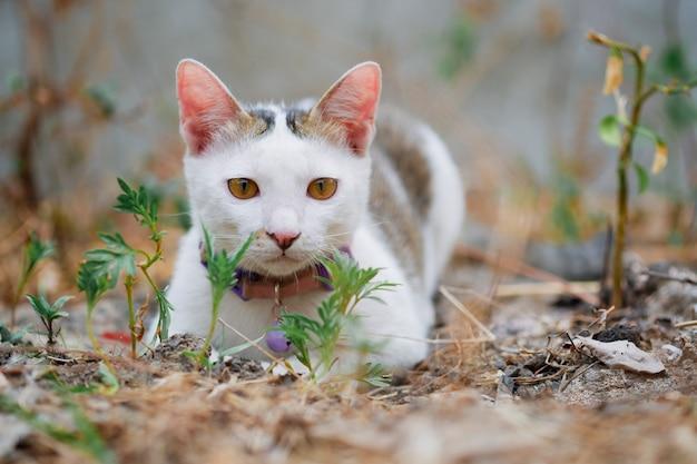 Симпатичная тайская кошка, лежащая на земле в одиночестве, смотрит вперед на естественном фоне