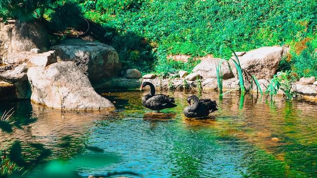 검은 백조 한 쌍이 호수에 있는 공원에서 수영하고 있습니다. 검은 백조 한 쌍 따뜻한 신선한