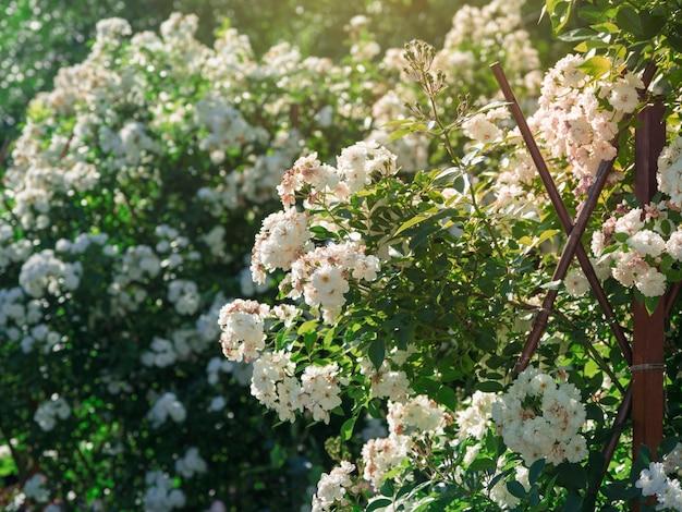 정원에있는 작은 흰색 장미의 무성한 부시