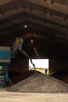 격납고에서 해바라기에서 씨앗을 추출하는 기계. 해바라기 씨의 산입니다. 해바라기 수확.