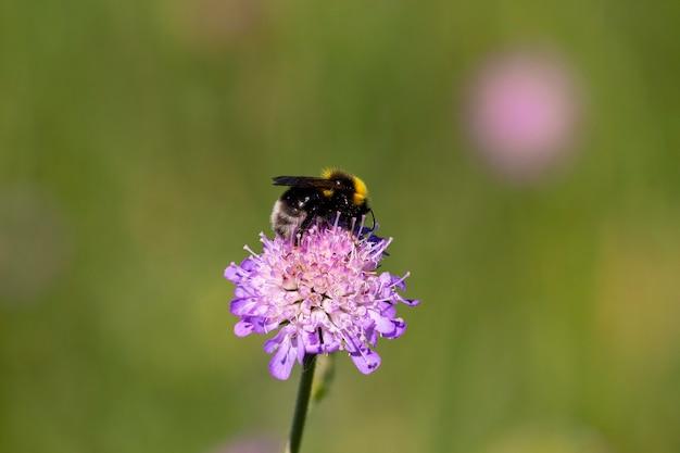 マルハナバチが野原の狡猾な花から花粉を集めるマクロ撮影とテキストの場所。浅い深さ、選択的な焦点。