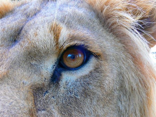木製のプラットフォームに座っている雄大なライオン