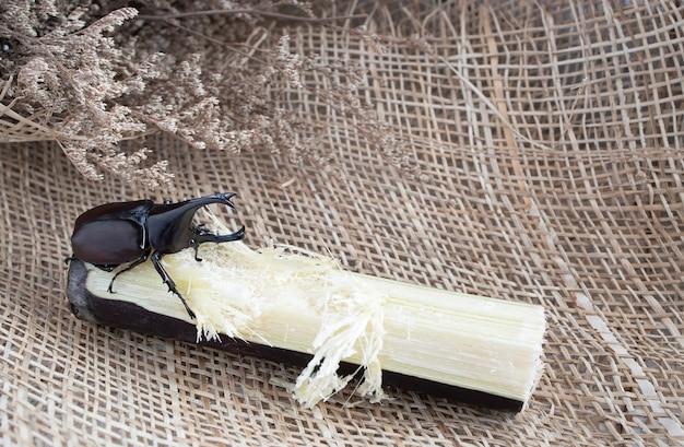 Жук-самец питается стеблем сахарного тростника.