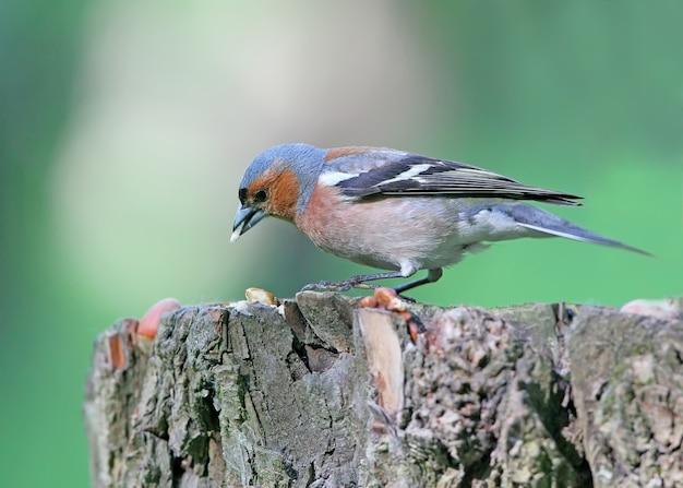 남성 chaffinch 클로즈업입니다. 나무에 촬영. 새의 식별 표시가 명확하게 보입니다.