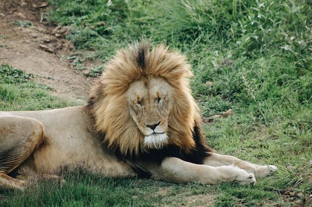 Самец льва лежит на траве с закрытыми глазами