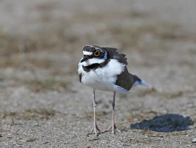 모래에 서있는 깃털 번식에 남성 작은 고리 떼가 닫습니다.