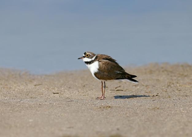 바다의 푸른 바닷물 근처의 모래에 서있는 번식 깃털의 수컷 작은 고리 떼