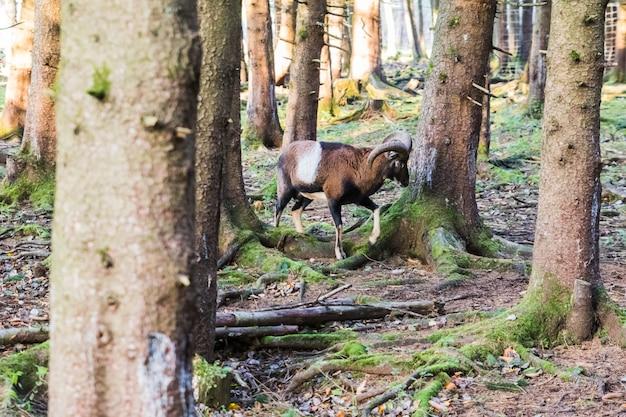 森の中のオスのマフロン