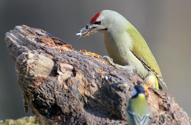 Самец сероголового дятла сидит на лесной кормушке с жирным