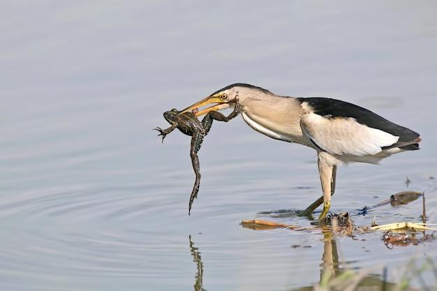 Самец маленькой выпи успешной охоты.