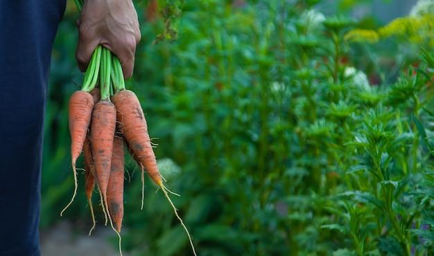 Фермер мужчина держит в руках морковь. выборочный фокус.