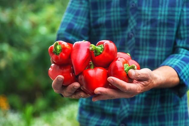 ある農夫が手に唐辛子の収穫を持っています。セレクティブフォーカス。食べ物。