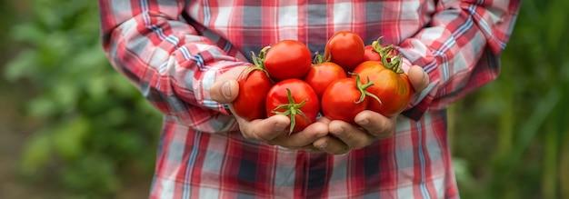 Фермер держит в руках урожай помидоров. выборочный фокус. природа.