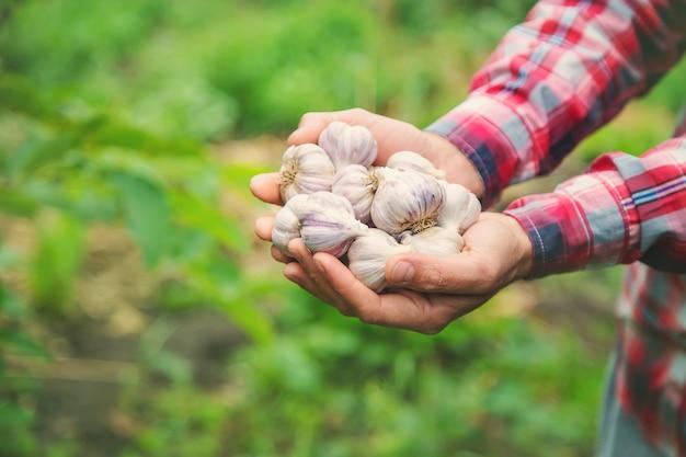 Фермер держит в руках урожай чеснока. выборочный фокус. природа.