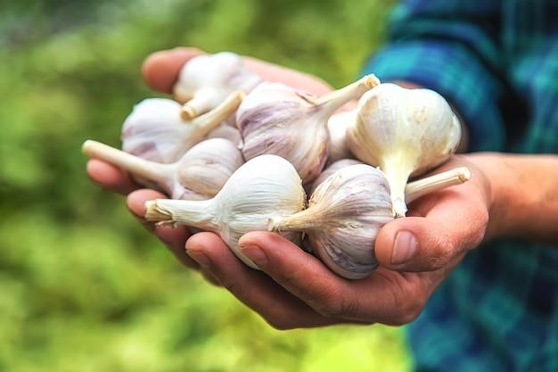 ある男性農民がニンニクの収穫を手にしています。セレクティブフォーカス。