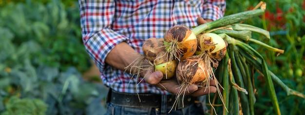 Фермер держит лук в саду. выборочный фокус.