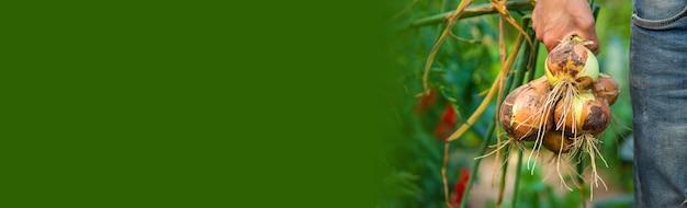 ある男性農家が庭でタマネギを持っています。セレクティブフォーカス。