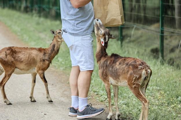 男はムーフロン(ovis orientalis)に餌をやる。幸せな旅行者の女の子は、夏に国立公園で野生動物との付き合いを楽しんでいます。接触動物園の人々と遊ぶ子鹿鹿