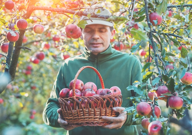 과수원에서 사과를 수확하는 남자. 빨간 유기농 사과 바구니를 들고 있는 남자