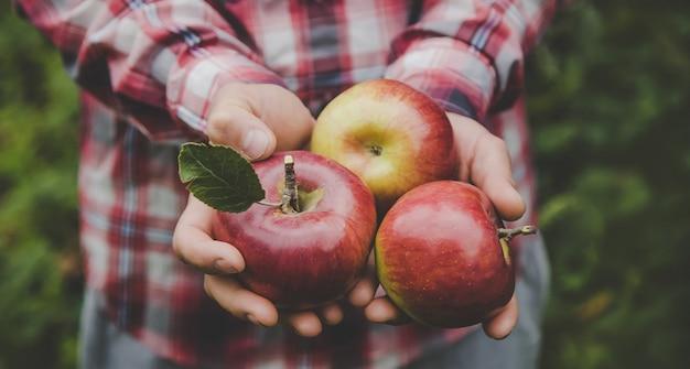 男はリンゴの収穫を手に持っています。