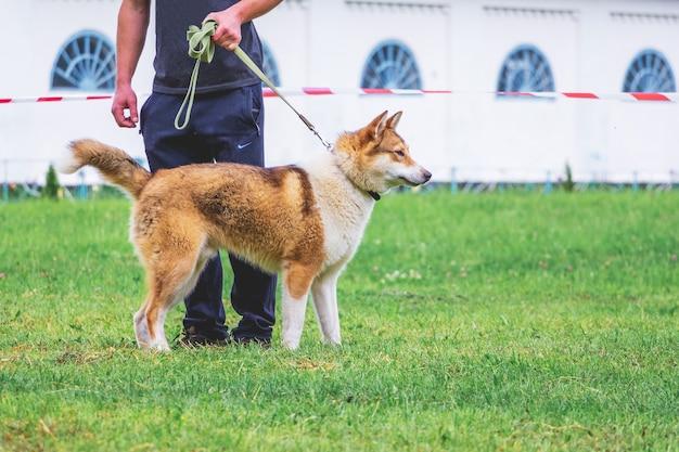 Мужчина держит на поводке собаку породы западно-сибирская лайка.