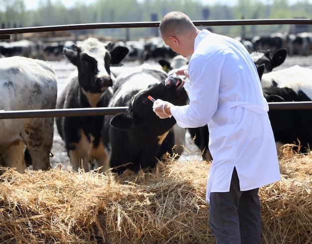 Мужчина в белом халате анализирует коров на ферме