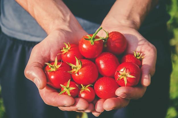 トマトを手にした庭の男。
