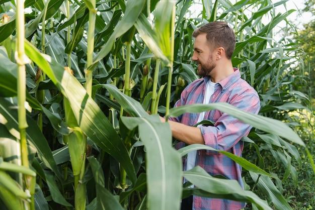 男はとうもろこし畑を調べて害虫を探します。成功した農民とアグリビジネス
